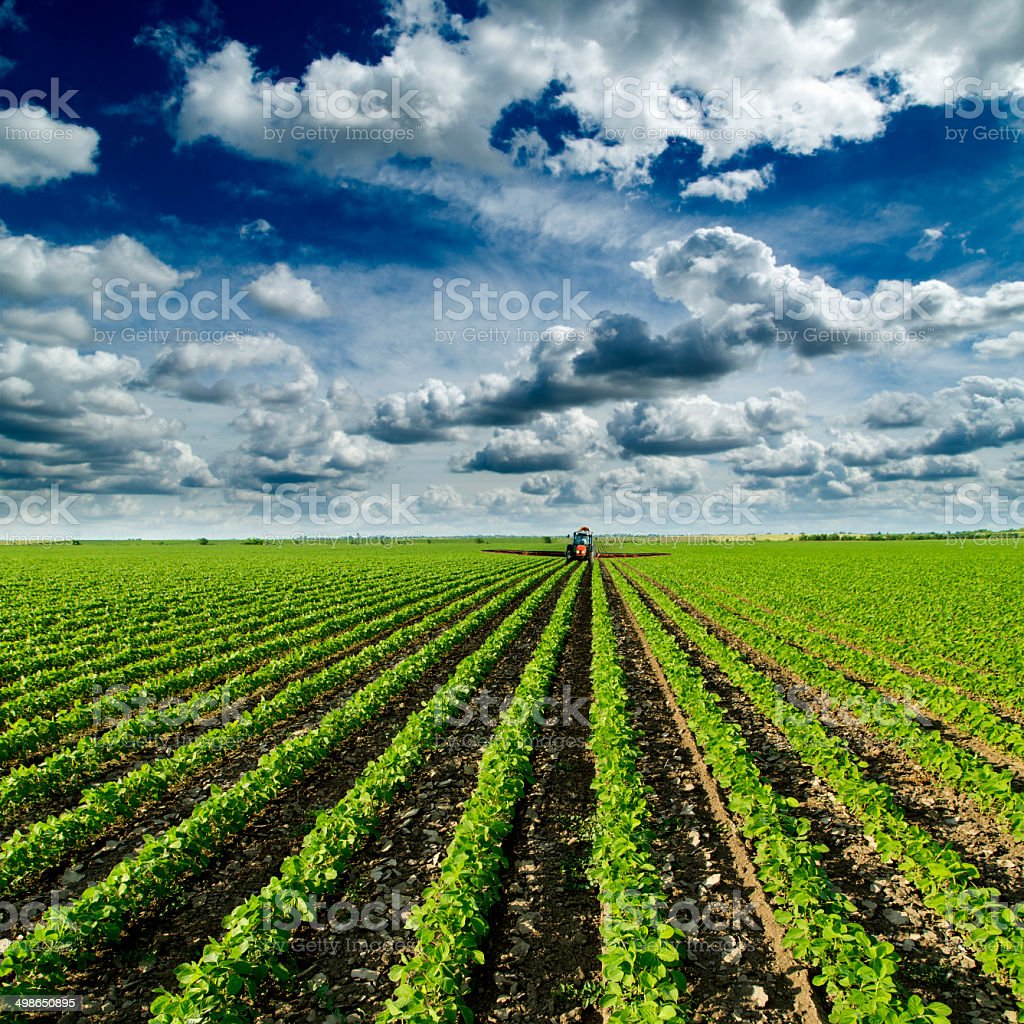 Soybean field ripening at spring season. Red tractor spraying field stock photo
