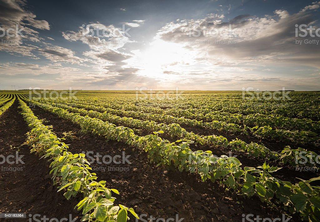 Soybean Field Rows i stock photo