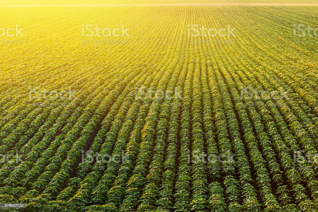 Soybean Field Rows in sunset stock photo