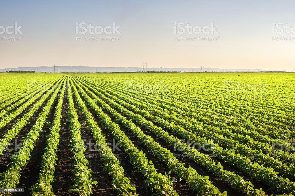 Soybean Field Rows stock photo