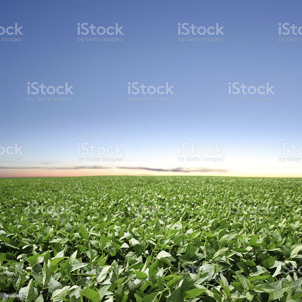 XXXL soybean field twilight stock photo