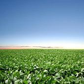 XXXL soybean field twilight