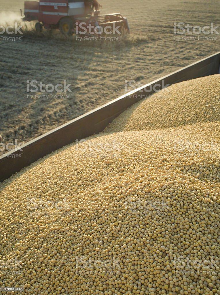 Soybean Harvest royalty-free stock photo