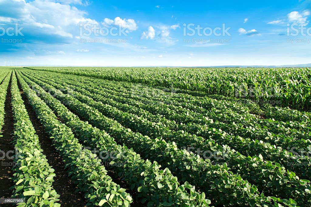 Soybean next to corn field ripening at spring season stock photo