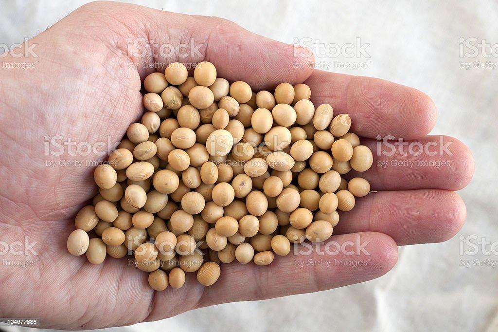 soybean royalty-free stock photo