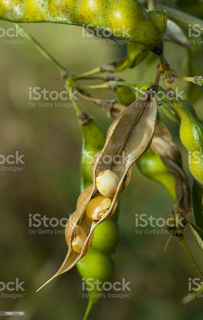 Soybean royalty-free stock photo