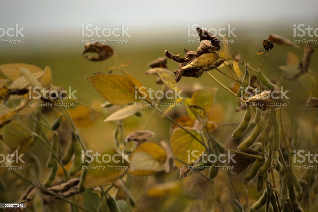 Soybean plant close up photo stock photo