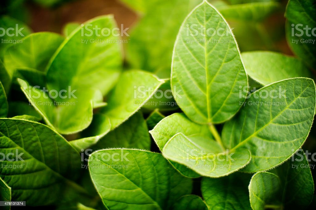 Soybean plant, top view. stock photo