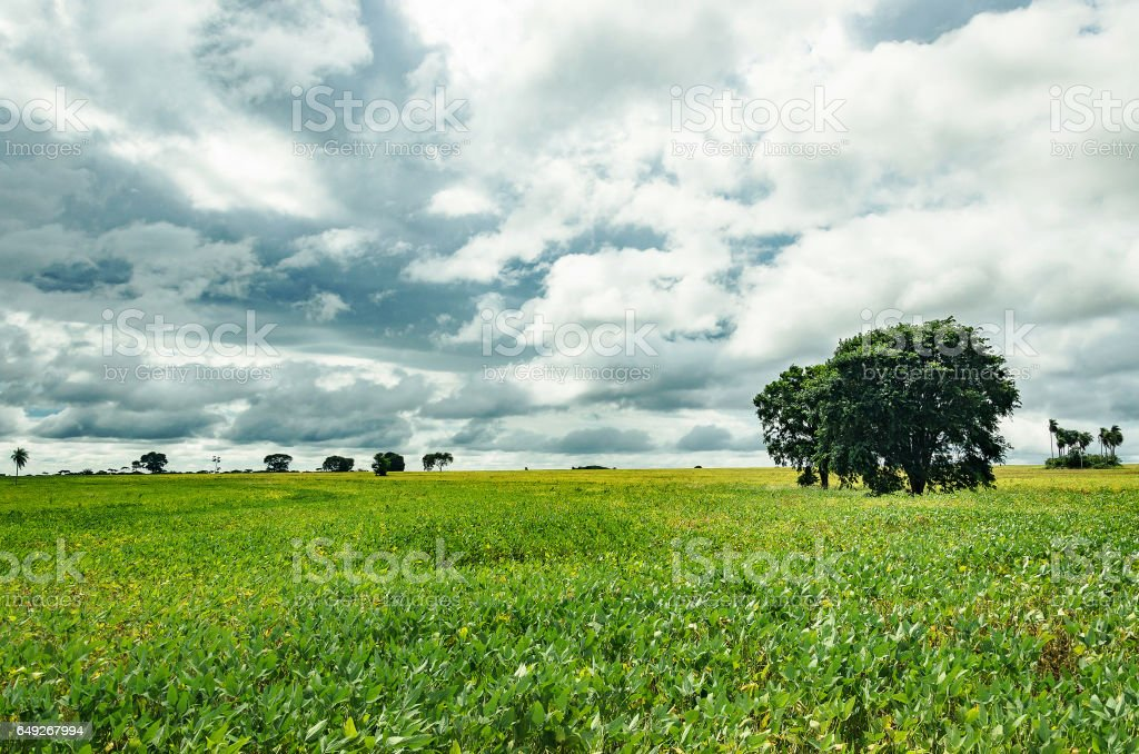 Soybean plantation landscape on a cloudy day stock photo