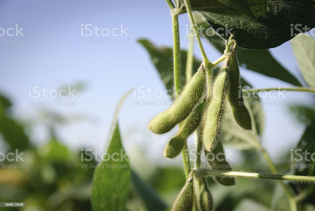 Soybean pods and leaves stock photo