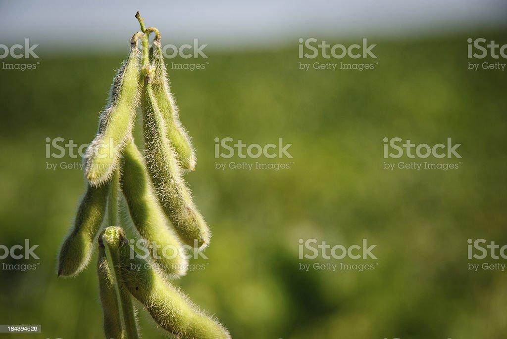 Soybean pods stock photo