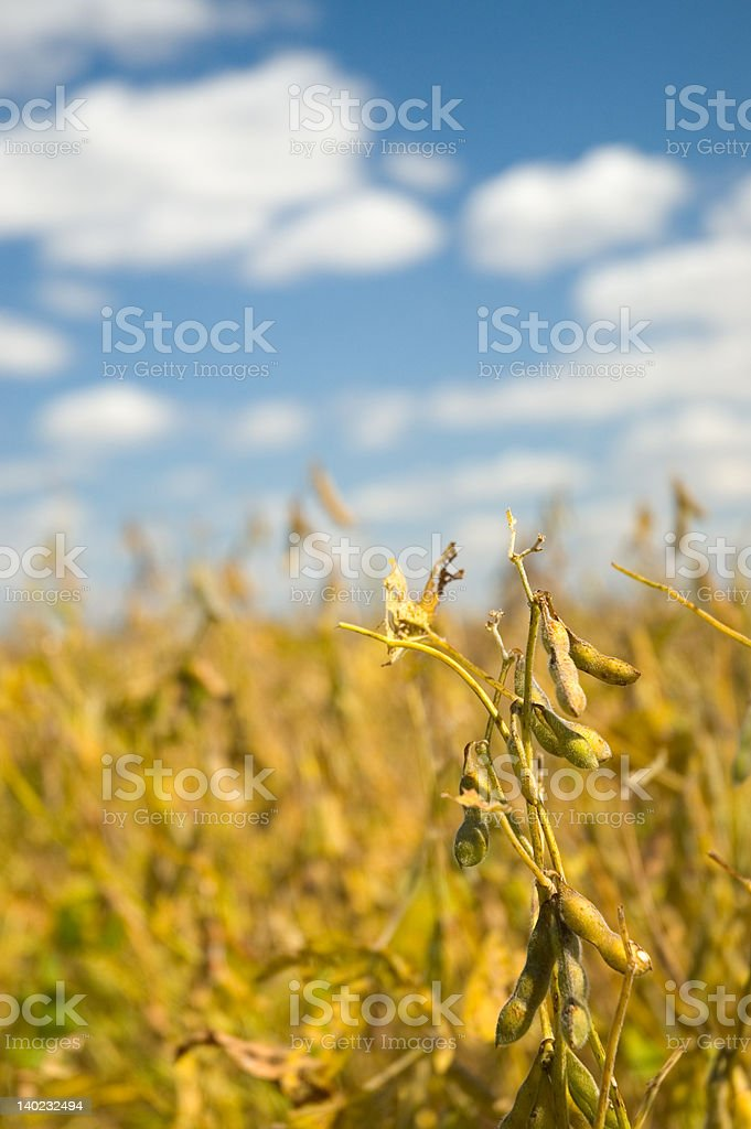 Soybean Portrait royalty-free stock photo