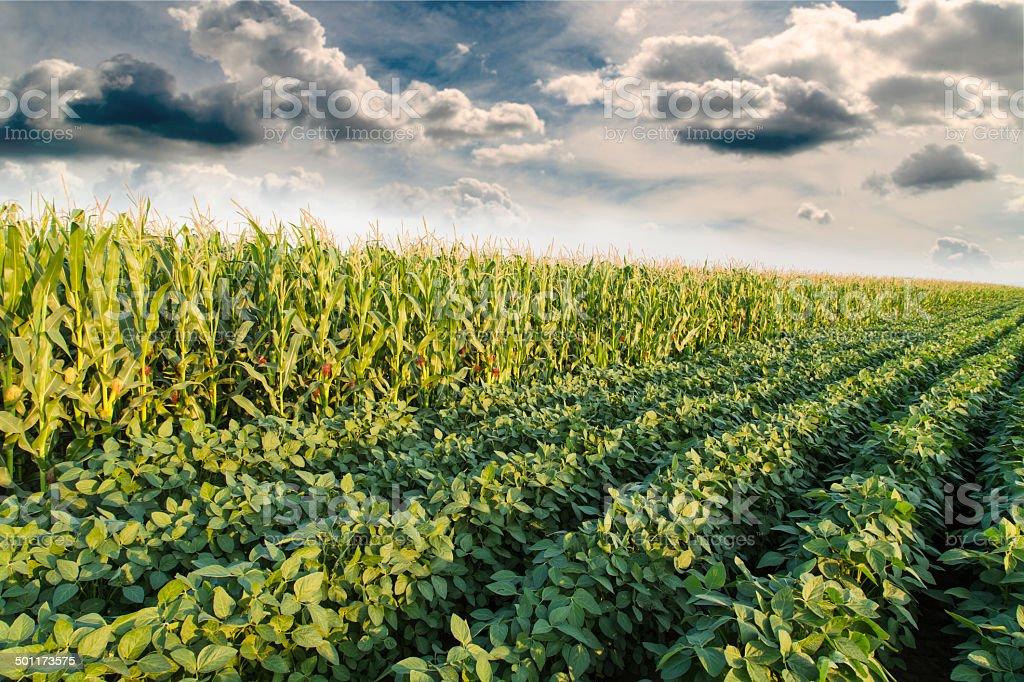 Soybean ripening next to corn maize field at spring season stock photo