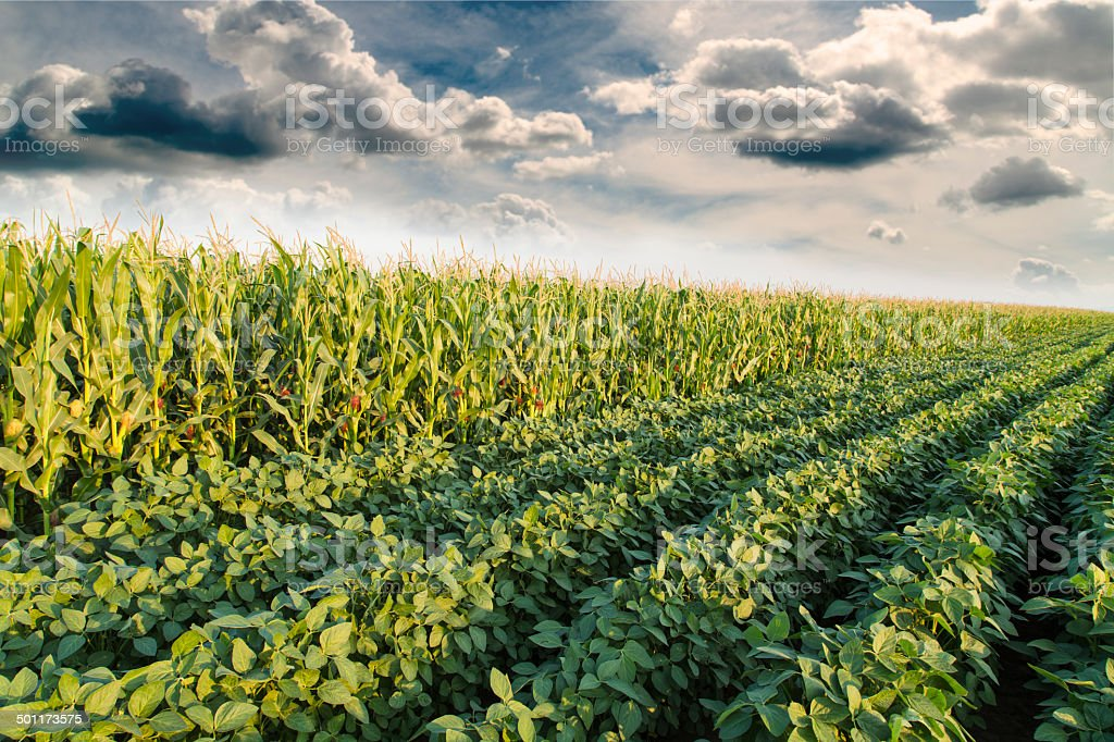 Soybean ripening next to corn maize field at spring season stock photo