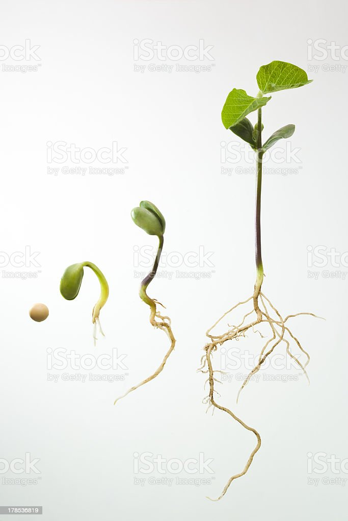 Soybean seedlings in various stages of growth stock photo