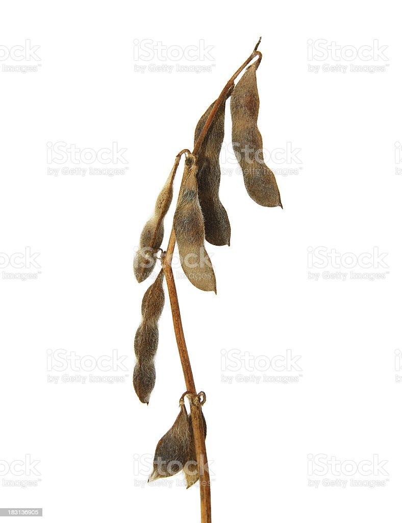 Soybean stalk royalty-free stock photo