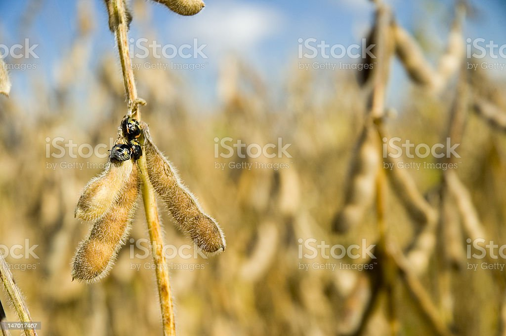Soybeans and Beetles stock photo