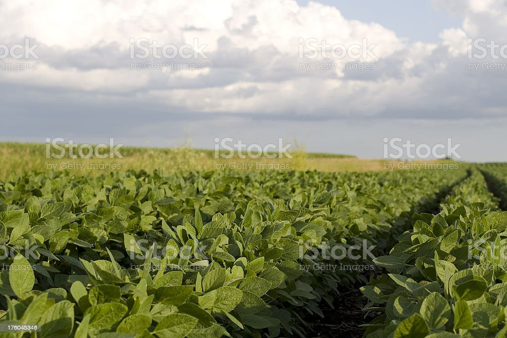 Soybeans in Rows royalty-free stock photo