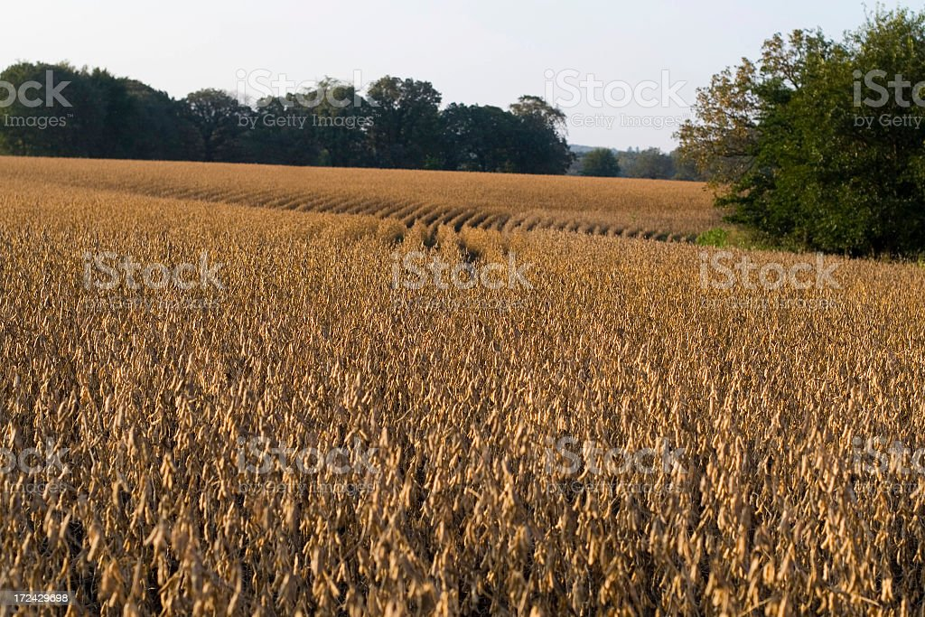 Soybeans on hilltop in autumn. royalty-free stock photo