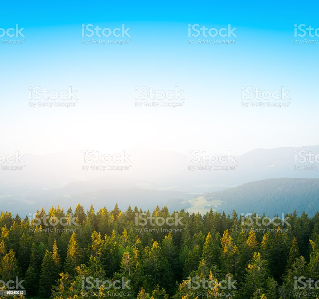Spacious Pine Forest In The Early Morning Sunlight stock photo