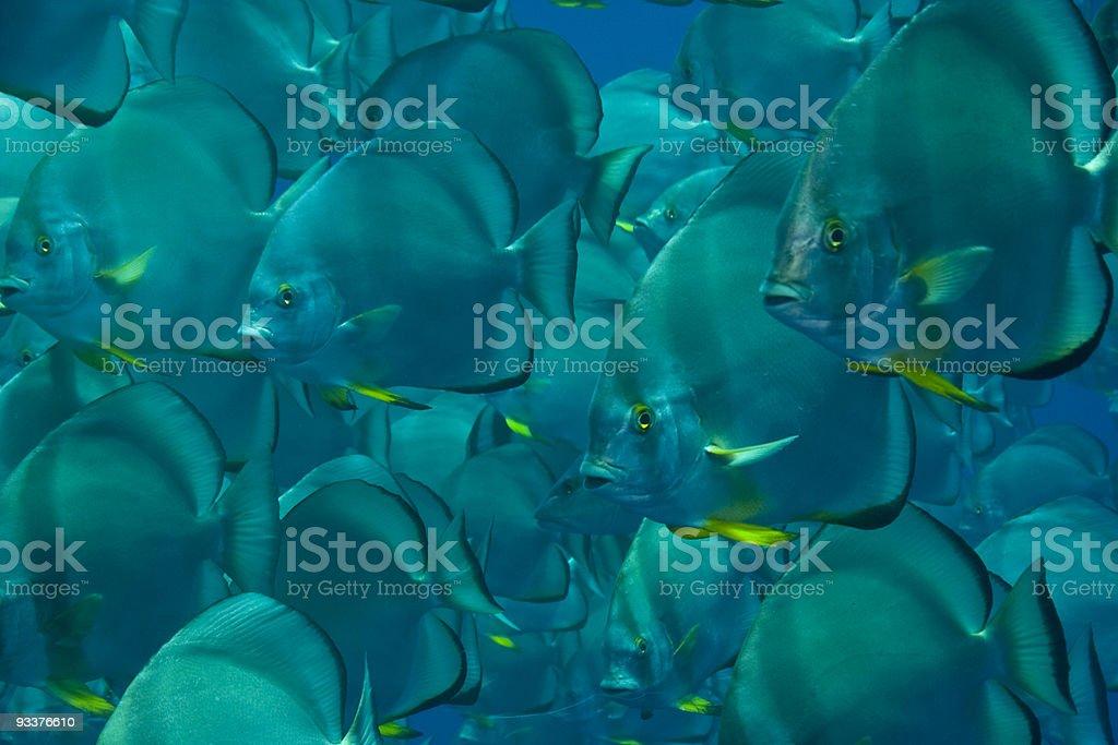 spadefish royalty-free stock photo