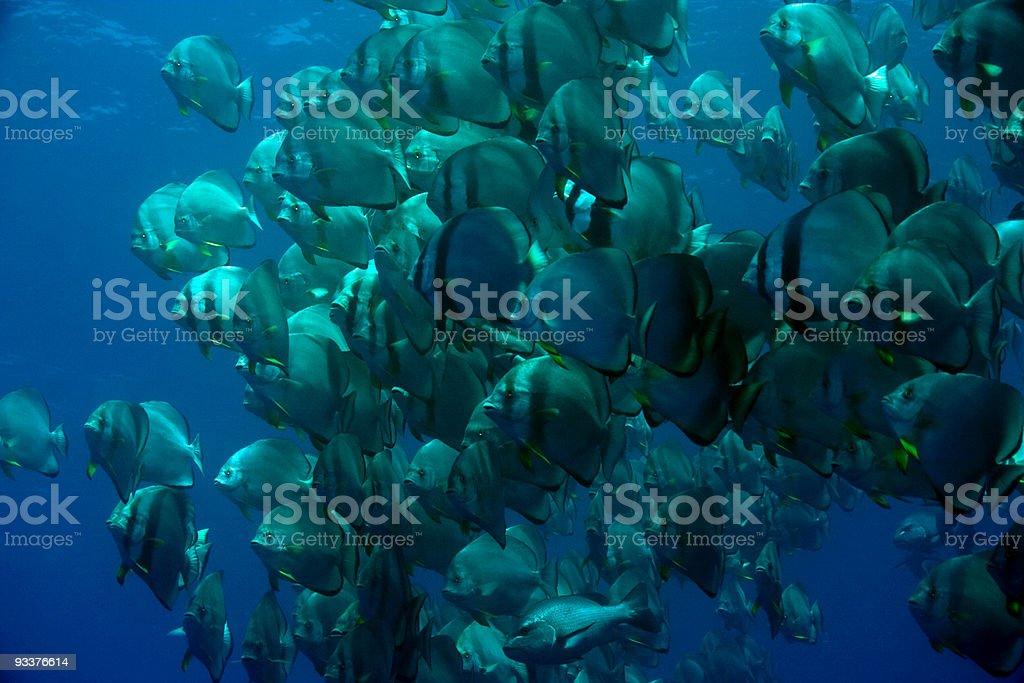 spadefish royalty-free stock photo