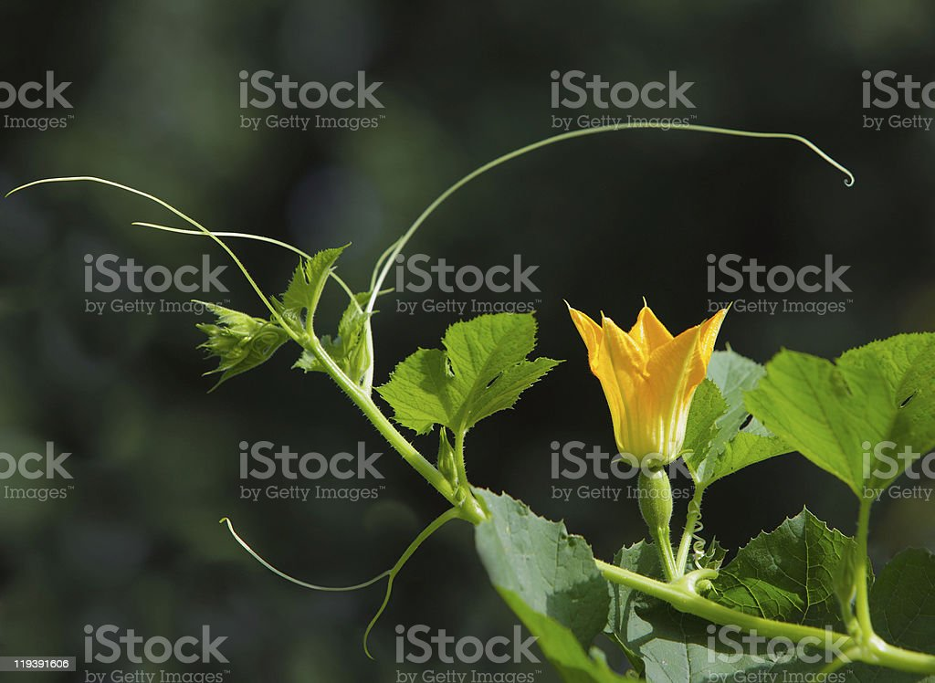 Spaghetti squash Flower royalty-free stock photo