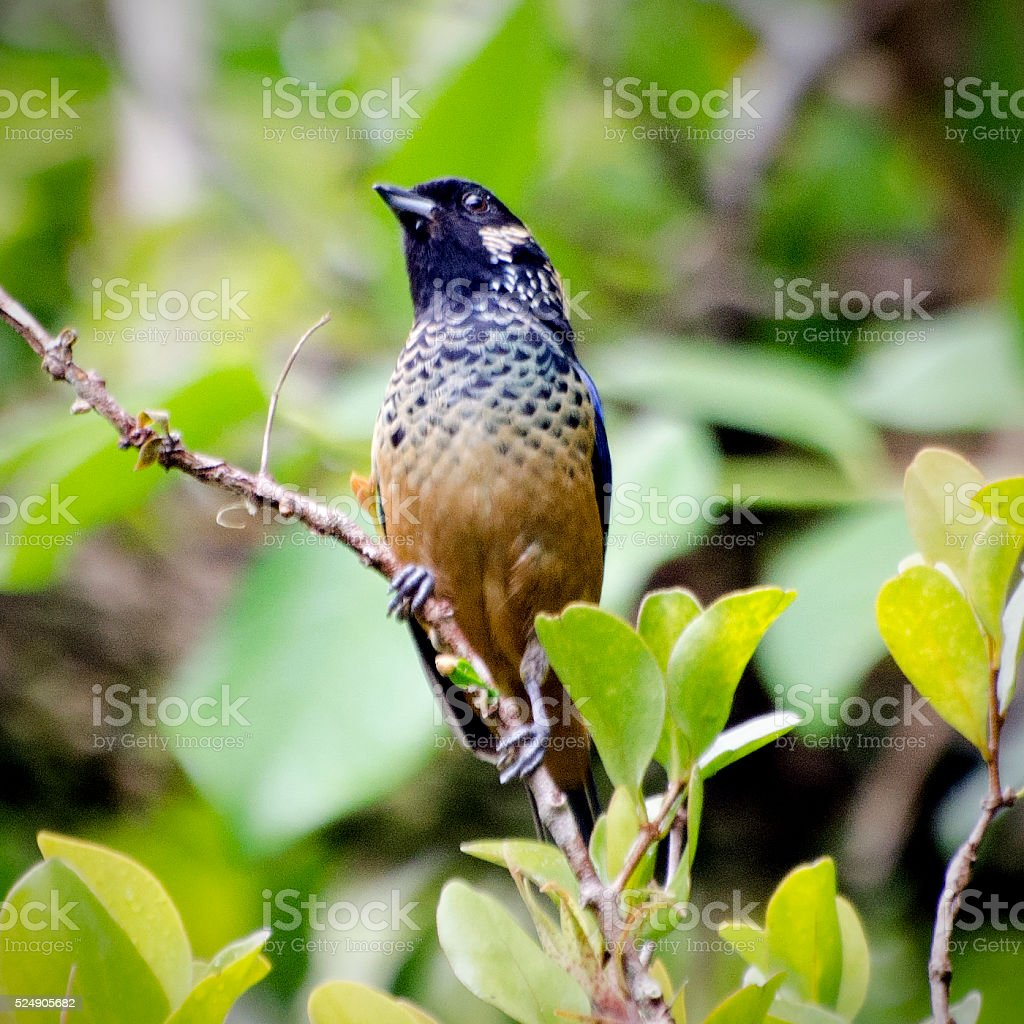 spangle-cheeked tanager, Tangara dowii stock photo