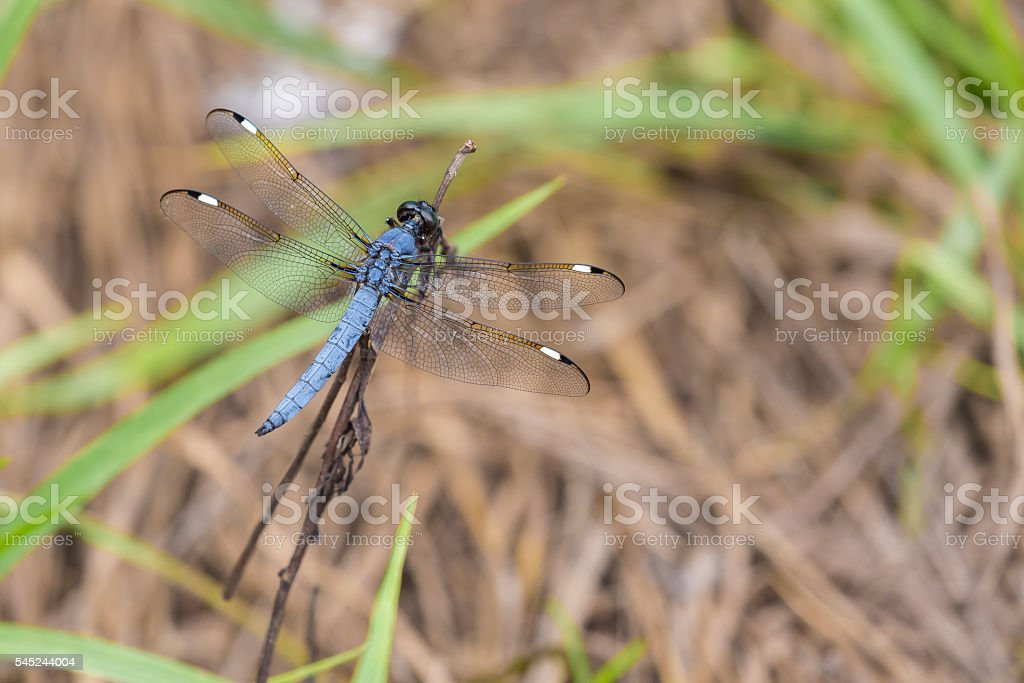 Spangled Skimmer Dragonfly stock photo