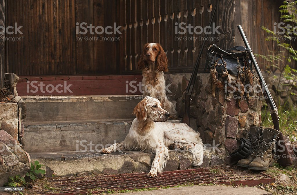 Spaniel and setter with trophies stock photo