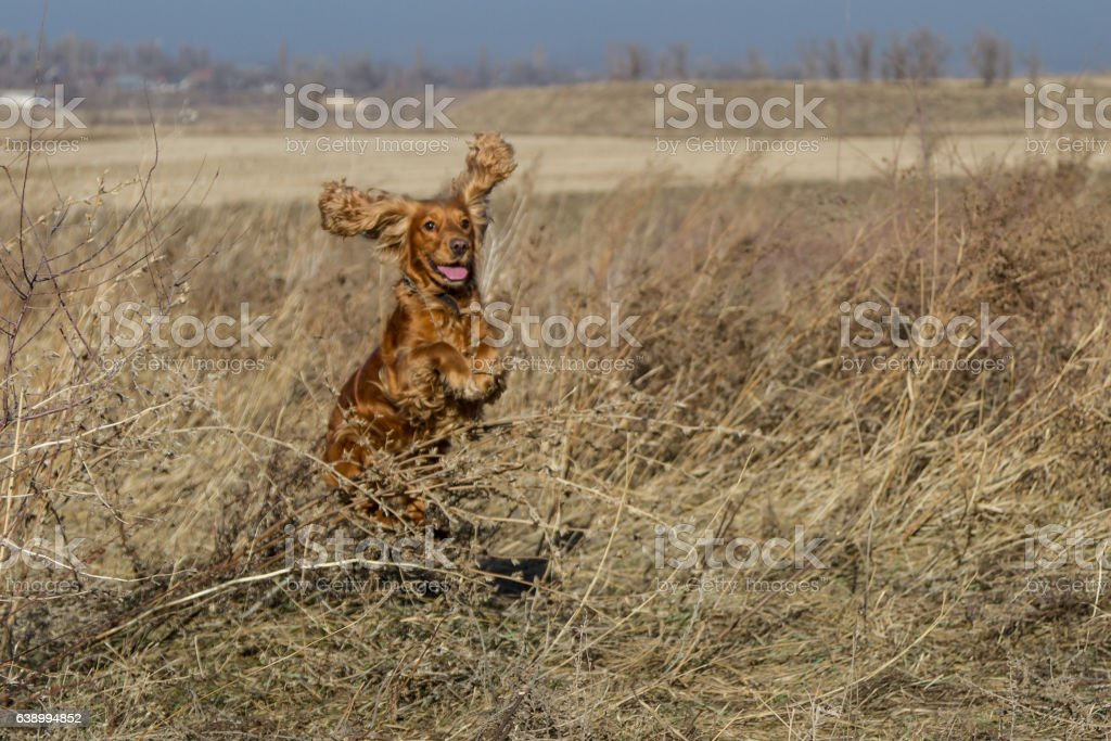 Spaniel jumping through dry grass stock photo