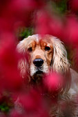 Spaniel peeking with concern through red flowers