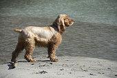 Spaniel standing posture on sandy river