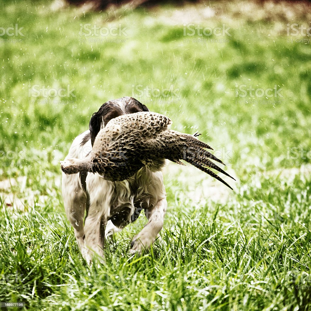 Spaniel with duck royalty-free stock photo