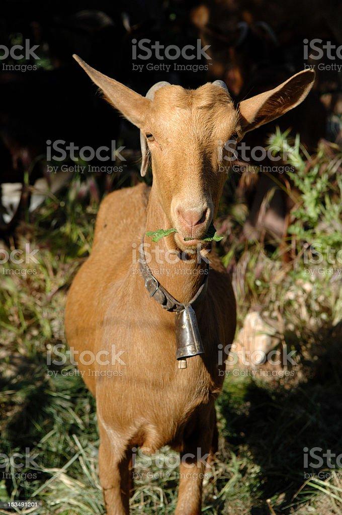 Spanish Goat royalty-free stock photo