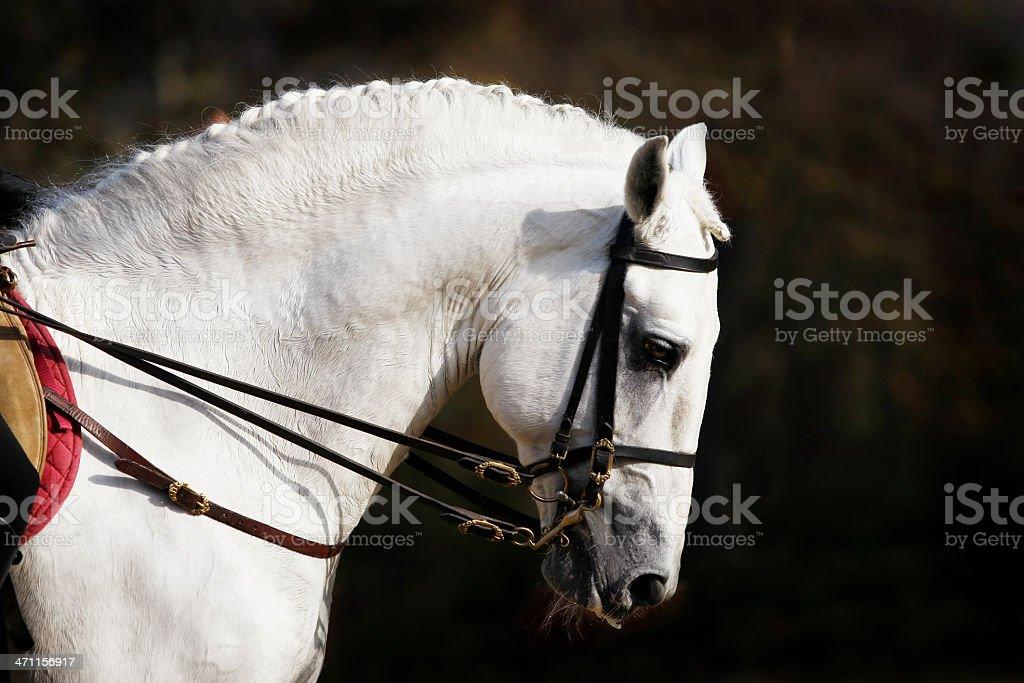 Spanish horse portrait royalty-free stock photo