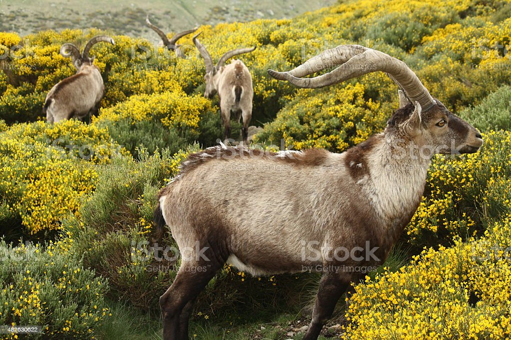 spanish ibex grazing on yellow broom stock photo