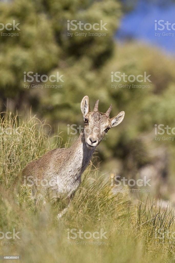 Spanish Ibex royalty-free stock photo