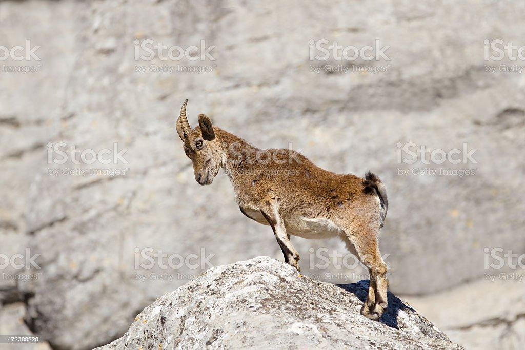 Spanish Ibex stood upright on rocks stock photo