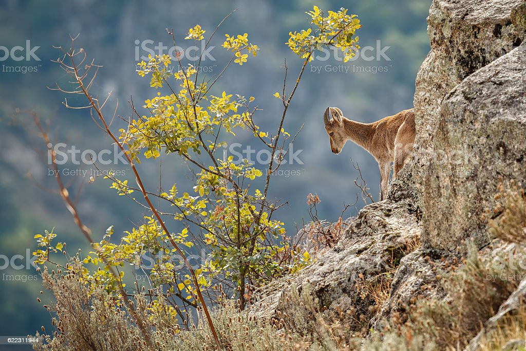 Spanish ibex young male in the nature habitat stock photo