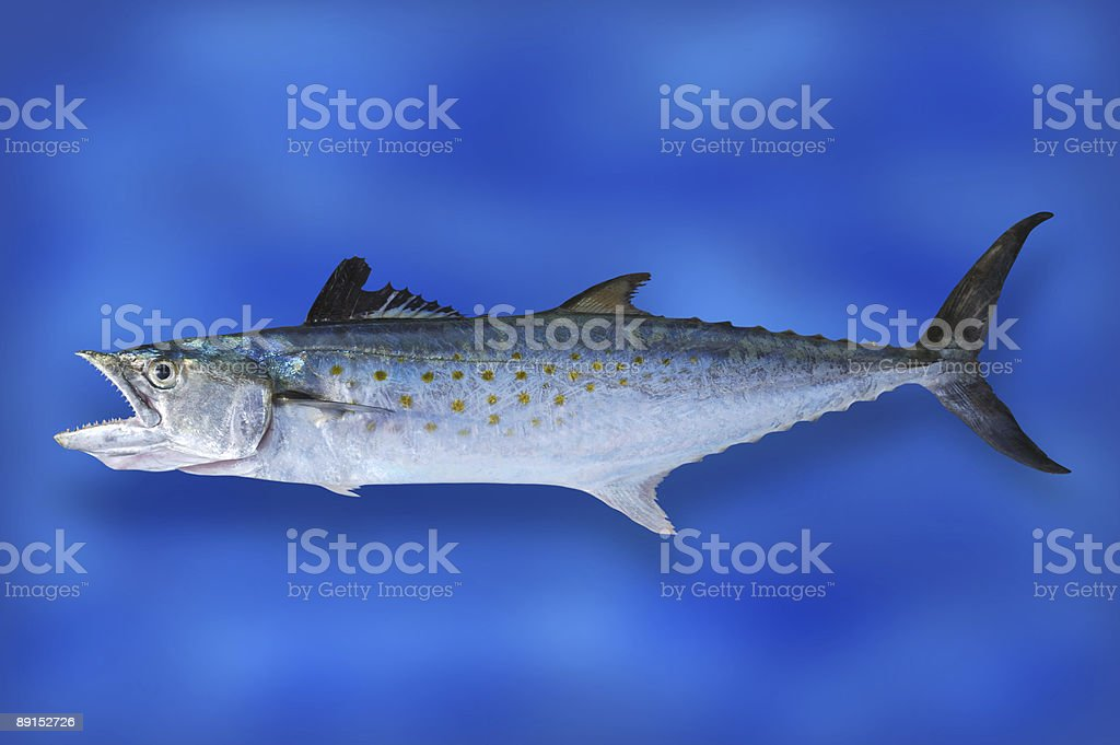 Spanish Mackerel royalty-free stock photo