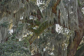 Spanish Moss and Fern Covered Live Oak Tree Branches