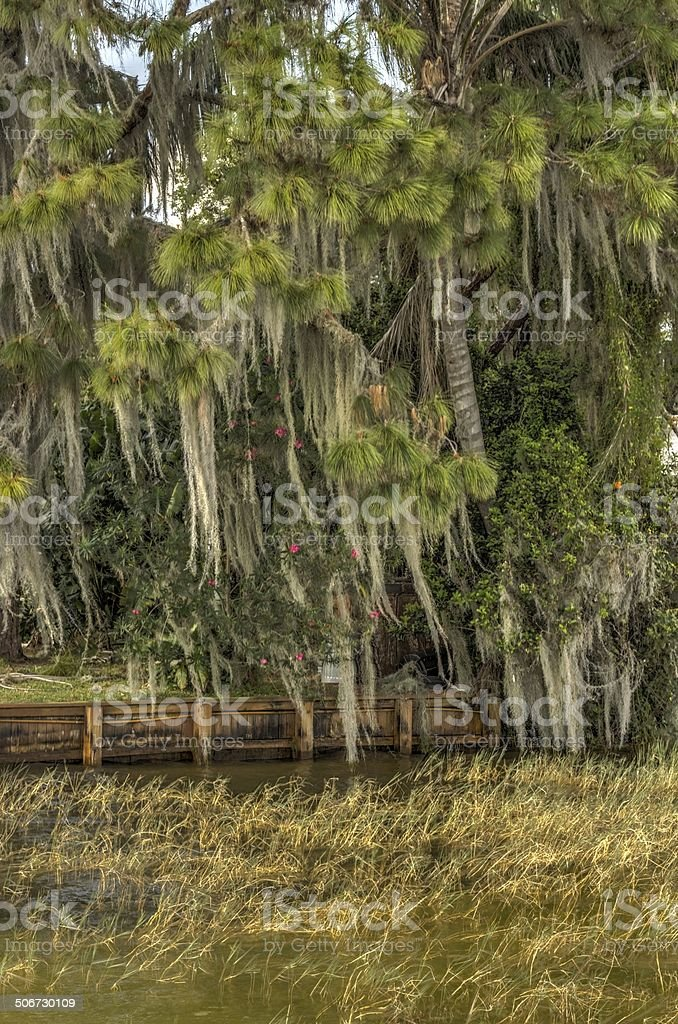 Spanish Moss and foliage at Lake June, FL stock photo