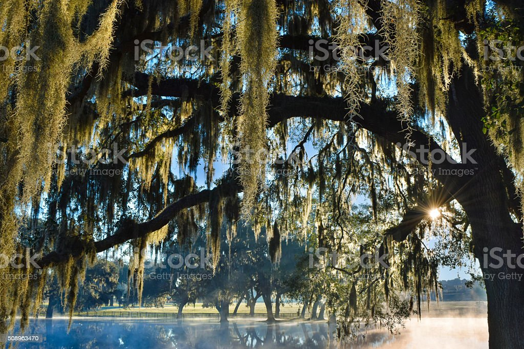 Spanish Moss and Winter Morning Sunrise stock photo