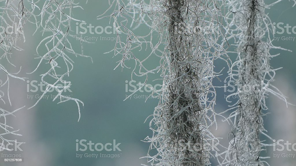Spanish Moss Background stock photo