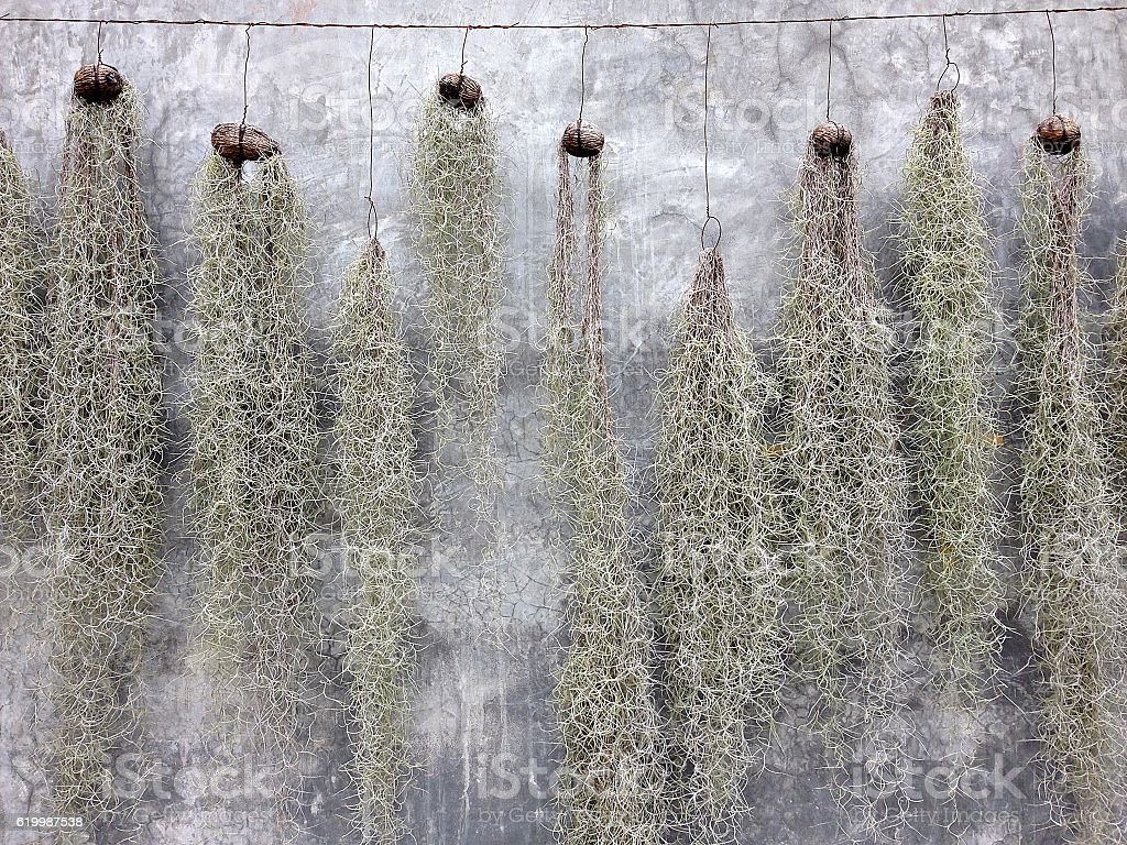 Spanish Moss hanging for decoration with stucco wall background stock photo