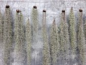 Spanish Moss hanging for decoration with stucco wall background
