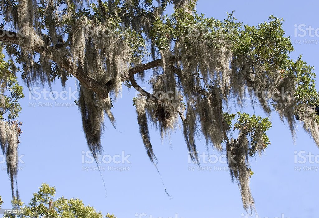 Spanish Moss In An Elm Tree royalty-free stock photo