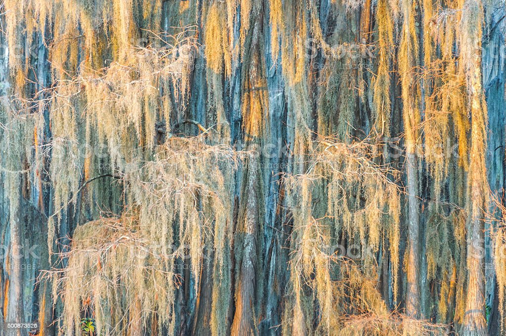 Spanish Moss in the morning sunlight stock photo