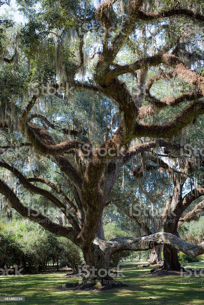 Spanish Moss on Oak Tree stock photo